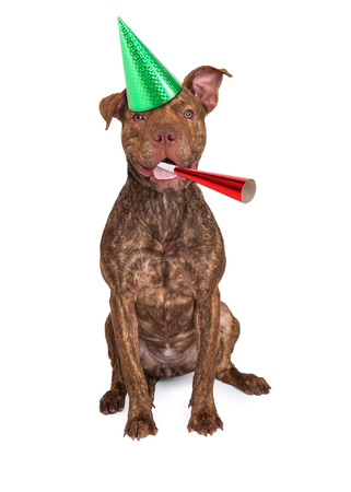 noise maker: A happy and friendly mixed breed dog wearing a party hat with a noise maker Stock Photo