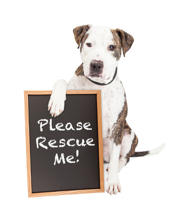 Cute and friendly Pit Bull Dog holding a chalkboard with the words Please Rescue Me Stock Photo