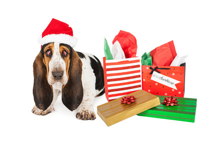 A tired Basset Hound puppy dog with bloodshot eyes sitting next to Christmas presents photo
