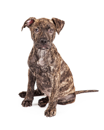 brindle: A cute little four month old puppy large breed cross with a striped brindle coat sitting and looking at the camera