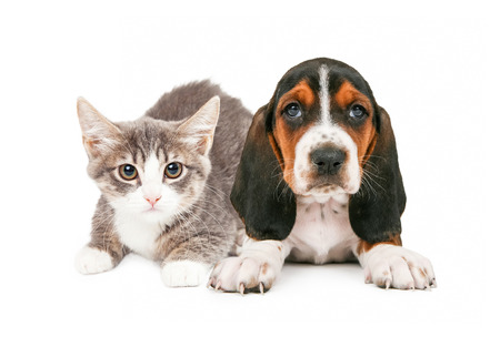 animals together: A cute little kitten and Basset Hound puppy laying together