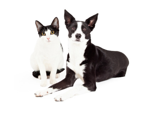 laying forward: Cute black and white color dog and cat sitting together