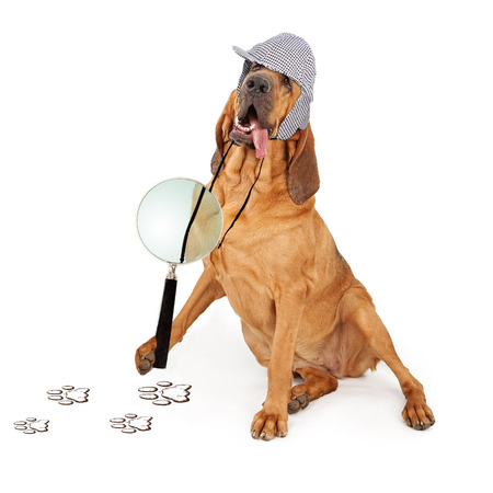 bloodhound: A Bloodhound dog dressed as a detective with a magnifying glass looking at paw prints