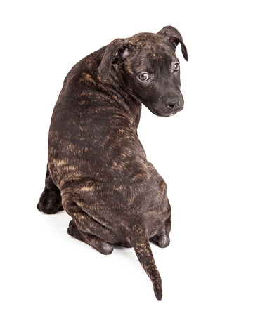 facing away: A cute little Pit Bull mixed breed puppy with a brindle coat sitting facing away and turning head to look back