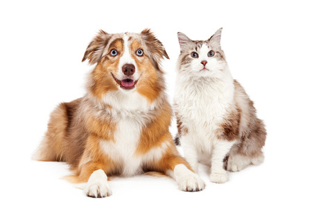 A cute cat and happy Australian Shepherd dog, sitting together Фото со стока