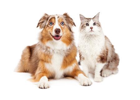 Un chat mignon et heureux australien chien de berger, assis ensemble Banque d'images - 36915633