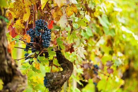 lambrusco: Bunches of ripe grapes ready for harvest in a vineyard in Tuscany Italy
