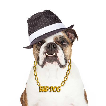 gangster: Bulldog wearing Bad Dog gold chain necklace and gangster hat
