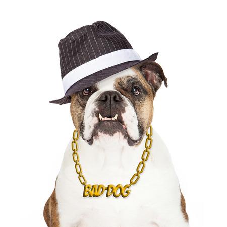 bad behavior: Bulldog wearing Bad Dog gold chain necklace and gangster hat