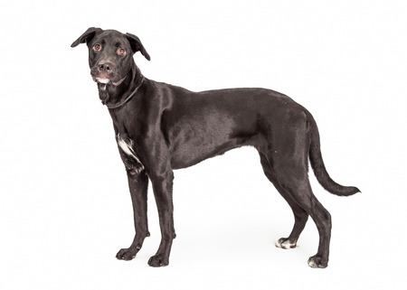 side keys: A pretty adult black Labrador Retriever mixed breed dog standing to the side
