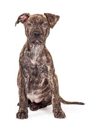 brindle: A beautiful brindle color Pit Bull crossbreed four month old puppy sitting and looking at the camera