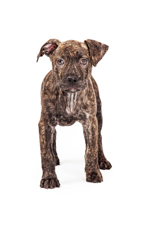 brindle: A cute four month old mixed breed puppy dog with a brindle color coat standing and looking forward