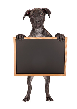 brindle: A cute little Pit Bull mixed breed puppy with a brindle coat standing up on hind legs holding a blank chalk board