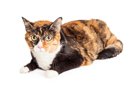 calico cat: A pretty Calico breed cat laying down and looking straight at the camera
