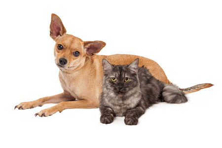 A cute Chihuahua mixed breed dog and little kitten laying together