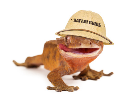 crested gecko: A funny crested gecko wearing a safari guide hat