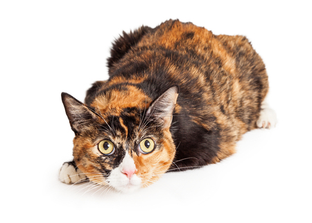 calico cat: A pretty Calico breed cat laying down with a curious and attentive expression