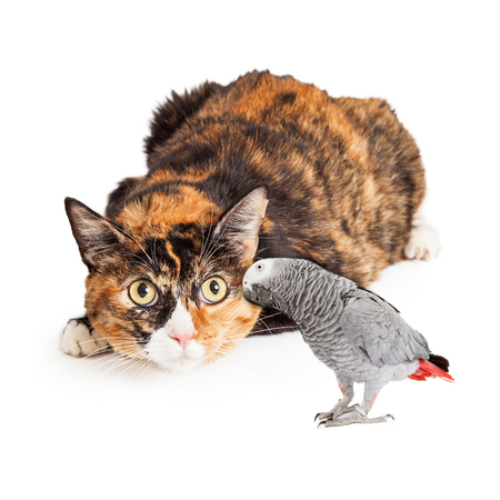 african grey parrot: A pretty Calico breed cat laying down with a curious  expression looking at an African Grey Parrot Stock Photo
