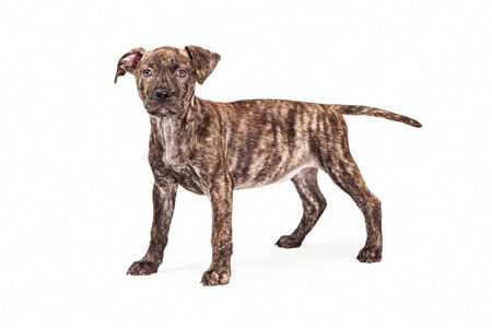 brindle: An adorable mixed breed brindle coated dog standing up and looking at the camera.