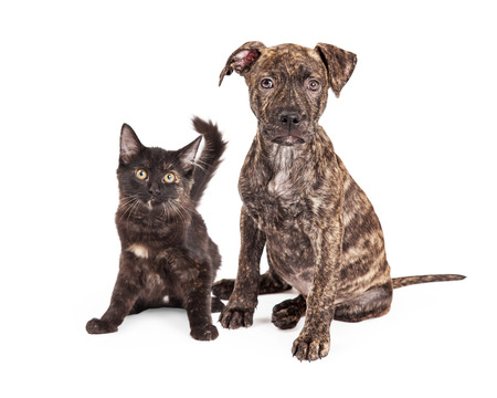 brindle: A cute little Brindle Puppy sitting next to a black and orange kitten