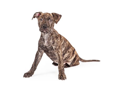 brindle: A cute little brindle coat four month old puppy dog sitting with front legs wide apart while looking at the camera