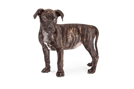 brindle: A cute little Pit Bull mixed breed puppy with a brindle coat standing to the side on a white background
