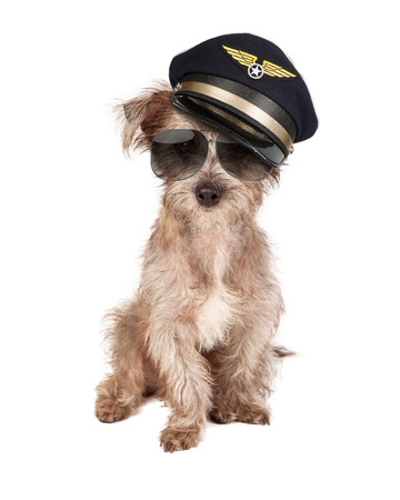 airline pilot: Terrier dog dressed as an airline pilot with hat and glasses