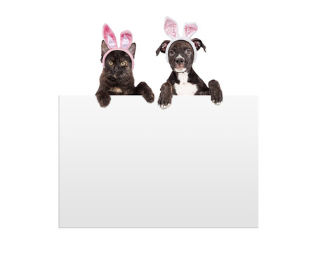 A cute little black kitten and puppy wearing Easter bunny ears with paws hanging over a blank white sign Stock Photo