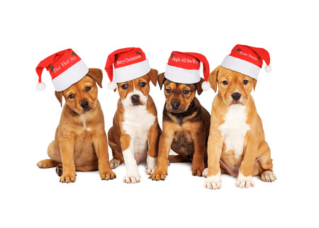 st  nick: Four adorable eight week old mixed Shepherd breed puppy dogs wearing Christmas Santa Hats