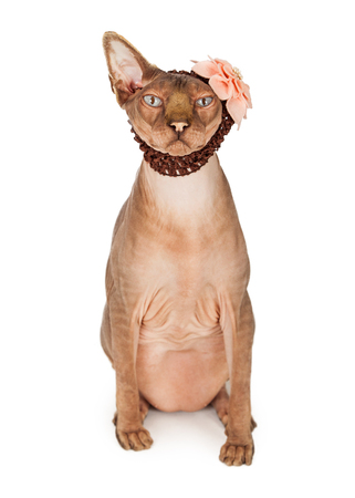 hairless: A cute and funny hairless Sphinx breed cat wearing a brown head band with a pink flower