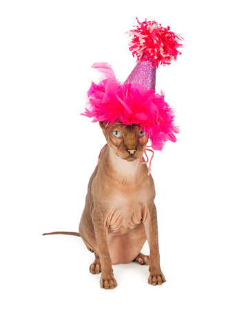 hairless: Funny picture of a hairless Sphinx breed cat wearing a fancy pink birthday party hat Stock Photo