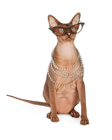 Sphinx: A funny looking hairless Sphinx breed cat wearing vintage style glasses and a long pearl necklace