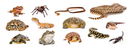 Composite of exotic pets including geckos, tarantula, snakes, turtles, toads, salamander, skink and scorpion