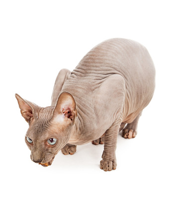 hairless: A unique hairless Sphynx cat eating a treat