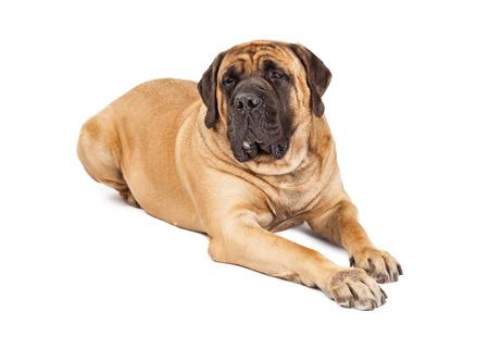 Giant 250 pound Mastiff breed dog laying down against white background