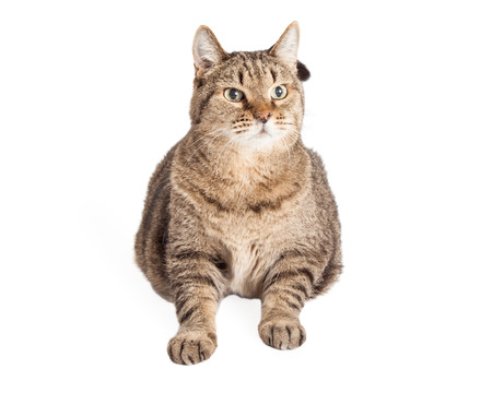 An overweight Mixed Breed Tabby Cat laying and looking to the side.  Entire body is facing the camera. photo