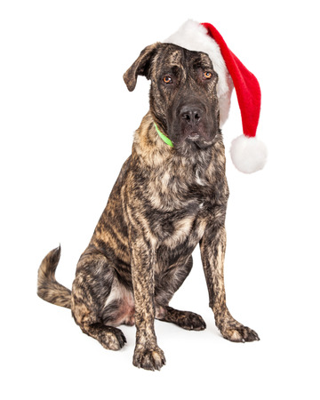 st nick: Giant breed dog wearing big Christmas Santa Claus hat Stock Photo