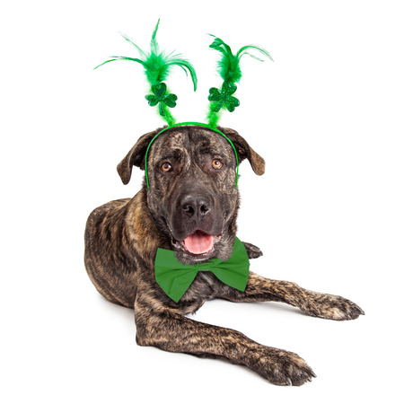 large dog: Funny large dog wearing St. Patricks Day clover and feather head band