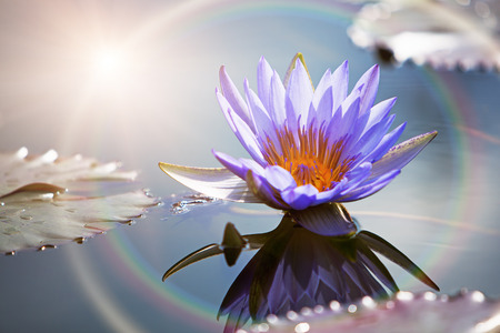 still water: A beautiful purple lotus flower in a still water pond with a reflection and sun rainbow ring light Stock Photo