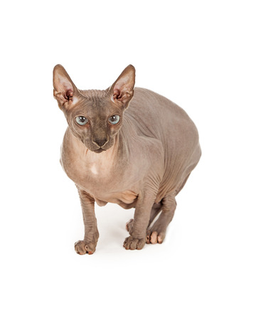 hairless: A rare breed hairless Sphynx cat with an anxious expression