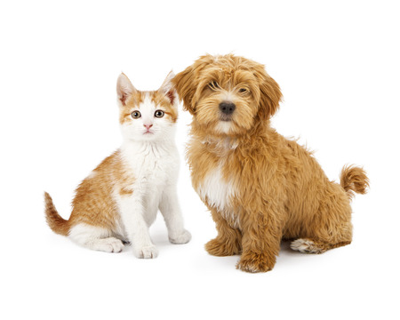 A cute little Havanese puppy and an orange tabby kitten sitting together