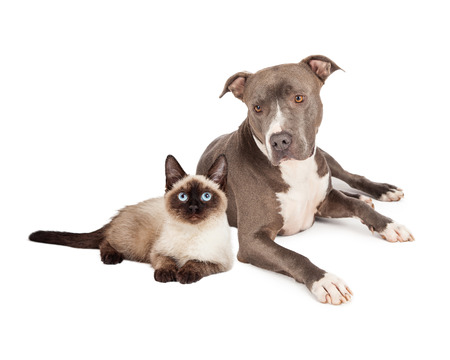 short hair dog: A blue Pit Bull Terrier dog and a siamese cat sitting together