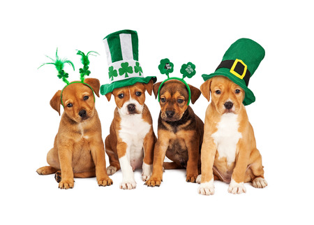 Adorable eight week old mixed Shepherd breed puppy dogs wearing St Patrick's Day hats