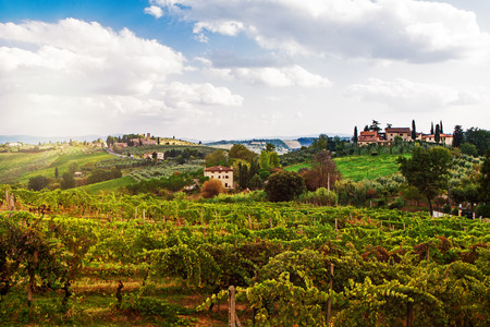 A beautiful view of a vineyard with ripe grapes ready for harvest in the rolling hillside of the Tuscany region of Italy