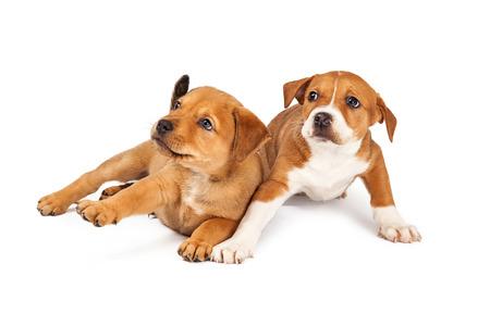 asustado: Dos adorables ocho semanas de edad perros cachorro de raza mixta Pastor con una expresi�n de miedo