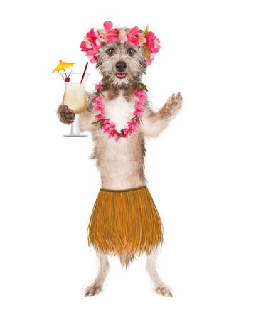 belly band: Cute dog dressed as a Hawaiian hula belly dancer holding a Pina Colada drink Stock Photo