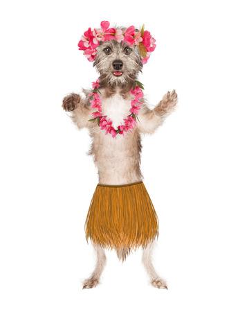 Cute dog dressed as a Hawaiian hula belly dancer