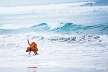 A large Irish Setter dog playing in the waves in the ocean with room for text.