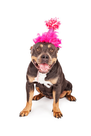 short hair dog: A cute and happy tri-color Pit Bull dog wearing a pink birthday party hat with a big smile on her face