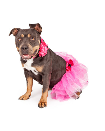 A cute female tri-color Pit Bull dog wearing a pink tutu and flower collar